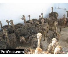 Tame ostrich chicks of various ages for sale