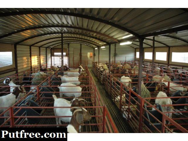 Male & Female Boer Goats For Sale