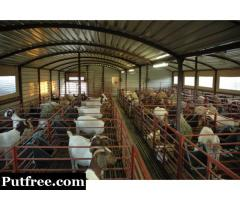 Male & Female Boer Goats For Sale