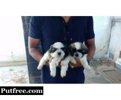 Shihtuz male and female puppies for sale 8886761188